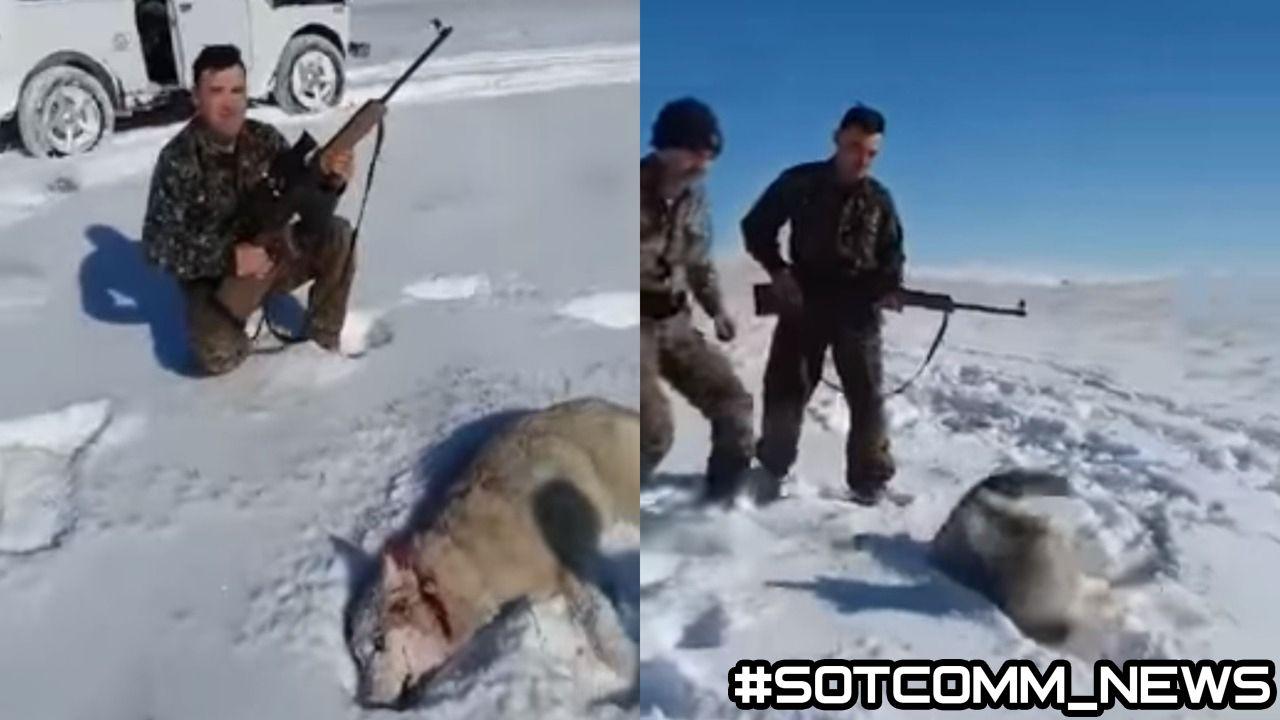 Видео где мертвый волк воскрес и отомстил охотнику, взорвало интернет